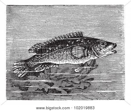 Vicille sea (Labrus maculatus) or Ballan wrasse or wrasse vintage engraving. Old engraved illustration of Labrus maculatus.  Trousset encyclopedia (1886 - 1891).