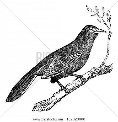 Mockingbird (Mimus polyglottus), vintage engraved illustration.  Trousset encyclopedia (1886 - 1891).