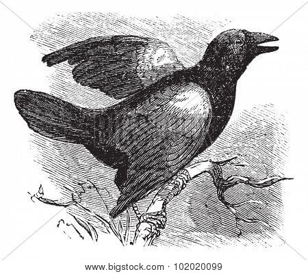 Red-winged Blackbird (Angelaius Phoeniceus), vintage engraved illustration. Trousset encyclopedia (1886 - 1891).