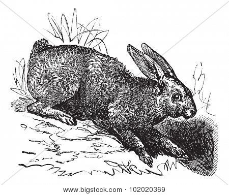 Northern hare (Lepus americanus) or Snowshoe Hare or Varying Hare vintage engraved illustration. Trousset encyclopedia (1886 - 1891).