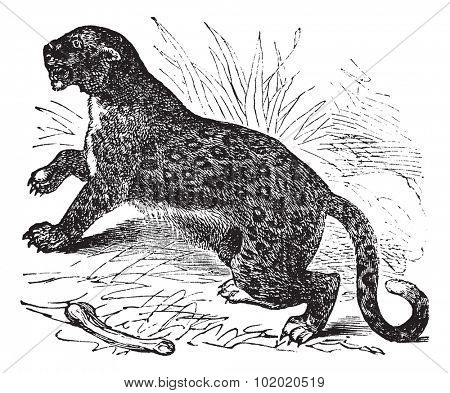 Felis leopardus vintage engraved illustration. Trousset encyclopedia (1886 - 1891).