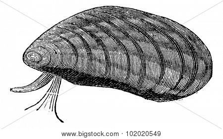 Mussels (Mytilus edulis) isolated on white, vintage engraved illustration. Trousset encyclopedia (1886 - 1891).