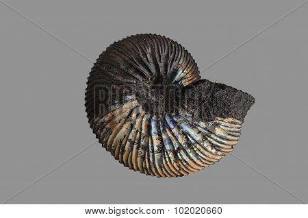 Ammonite - fossil mollusk.