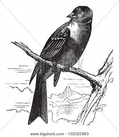 Ortolan bird, Emberiza hortulana or Ortolan Bunting, vintage engraved illustration. Trousset encyclopedia (1886 - 1891).