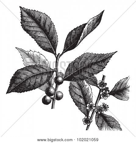 American Winterberry, Ilex verticillata, Black Alder Winterberry, Brook Alder,  Canada holly, Coralberry, Deciduous Holly, False alder, Fever bush or Inkberry...  Trousset encyclopedia 1886 - 1891