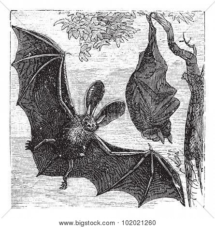 Brown long-eared bat, common long-eared bat or Plecotus auritus, vintage engraved illustration. Trousset encyclopedia (1886 - 1891).