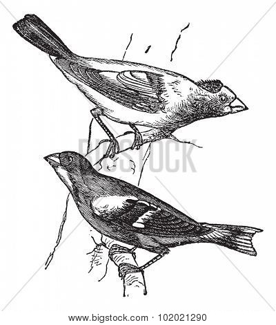 Evening grosbeak (Hesperiphona vespertina) or Finch 1.Male 2. Female vintage engraving. Old engraved illustration of male and female evening grosbeaks percing on tree branch. Trousset 1886 - 1891
