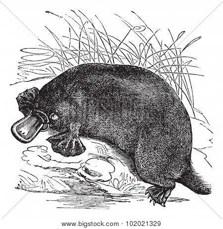Ornithorhynchus paradoxus or Platypus, vintage engraved illustration. Trousset encyclopedia (1886 - 1891).