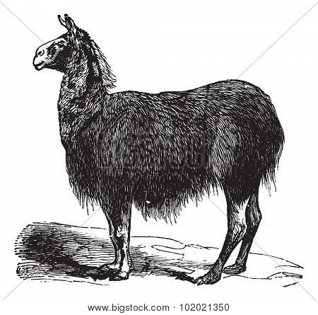 Guanaco (Lama Auchenia) vintage engraving. Old engraved illustration of Lama Auchenia. Trousset encyclopedia (1886 - 1891).