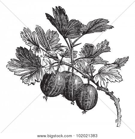 Gooseberry (Ribes grossularia) vintage engraving. Old engraved illustration of gooseberry on branch. Trousset encyclopedia (1886 - 1891).