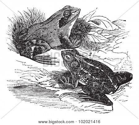 1. Wood frog (Rana sylvatica) 2.  Spring frog (Rana fontinalis) vintage engraving. Old engraved illustration of wood frog and spring frog. Trousset encyclopedia (1886 - 1891).