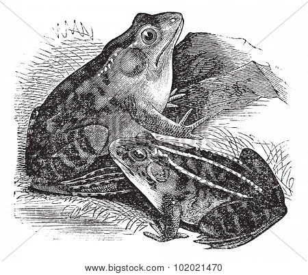 1. Bullfrog (Rana pipiens) or Leopard frog, 2. Northern Bullfrog (Rana horiconensis) vintage engraving. Engraved illustration of Rana pipiens and Rana horiconensis. Trousset encyclopedia 1886 - 1891