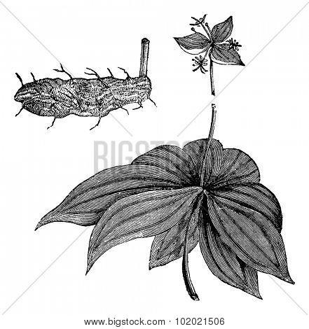 Medeola virginiana or Indian Cucumber-root isolated on white, vintage engraved illustration.Trousset encyclopedia (1886 - 1891).