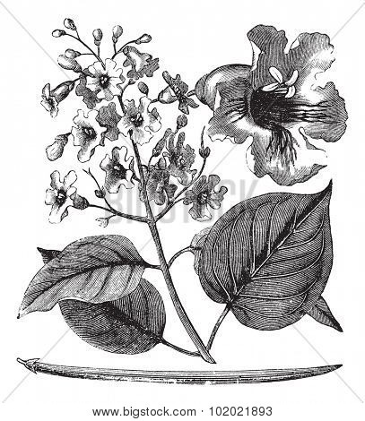 Catalpa bignonioides or cigar tree vintage engraving. Old engraved illustration of blossoms of catalpa tree. Trousset encyclopedia (1886 - 1891).