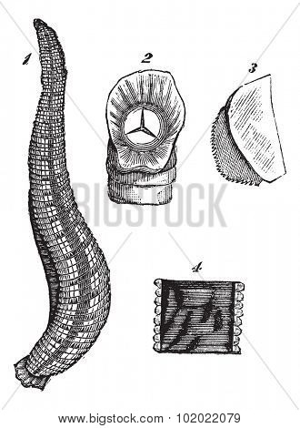 Medicinal leech or Hirudo medicinalis or European Medicinal leech, vintage engraving. Isolated on a white background. Trousset encyclopedia (1886 - 1891).