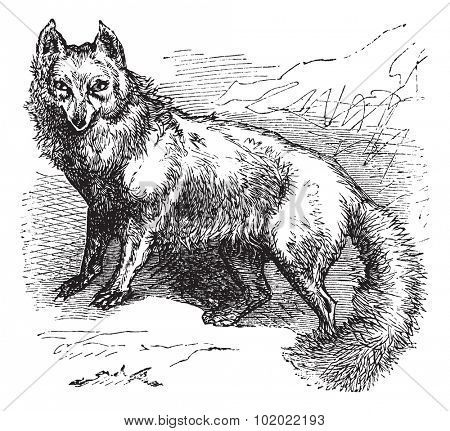 Arctic Fox or Vulpes lagopus or Alopex lagopus or Canis lagopus or White Fox or Polar Fox or Snow Fox, vintage engraving. Old engraved illustration of Arctic Fox. Trousset encyclopedia (1886 - 1891).