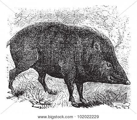 Collared peccary or Pecari tajacu or Dicotyles tajacu or Tayassu tajacu or Musk hog or Mexican hog or Quenk, vintage engraving. Trousset encyclopedia (1886 - 1891).