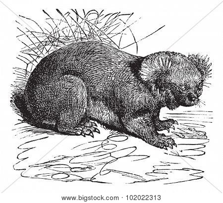 Koala or Phascolarctos cinereus, vintage engraving. Old engraved illustration of Koala. Trousset encyclopedia (1886 - 1891).