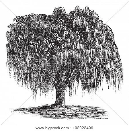 Babylon Willow or Salix babylonica or Peking Willow or Weeping willow, vintage engraving. Old engraved illustration of Babylon Willow tree. Trousset encyclopedia (1886 - 1891).