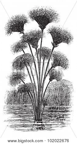 Papyrus sedge or Cyperus papyrus or Paper reed, vintage engraving. Old engraved illustration of Papyrus sedge. Trousset encyclopedia (1886 - 1891).