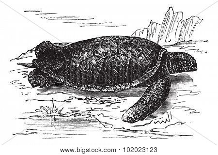 Green Sea Turtle or Chelonia mydas, vintage engraved illustration. Trousset encyclopedia (1886 - 1891).