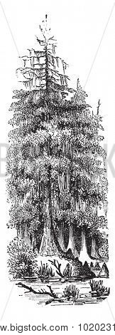Taxodier couplet (Taxodium distichum) or Bald-cypress or Baldcypress or Swamp Cypress, vintage engraved illustration. Bald Cypress tree. Trousset encyclopedia (1886 - 1891).