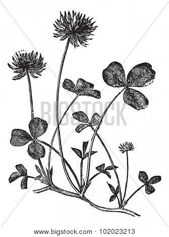 White Clover or Trifolium repens, vintage engraved illustration. Trousset encyclopedia (1886 - 1891).