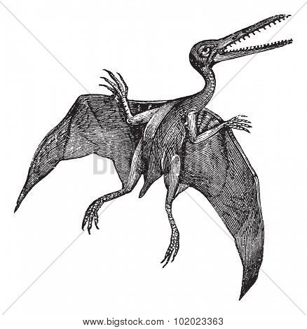 Pterodactylus or Pterodactylus antiquus, vintage engraving. Old engraved illustration of Pterodactylus isolated on a white background. Trousset encyclopedia (1886 - 1891).