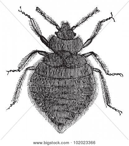 Bed bugs (Cimex lectularius) or Cimicidae, vintage engraved illustration. Bedbug isolated on white. Trousset encyclopedia (1886 - 1891).