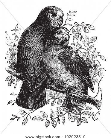 Rose-ringed Parakeet or Ringnecked Parakeet or Psittacula krameri, vintage engraved illustration. Trousset encyclopedia (1886 - 1891).