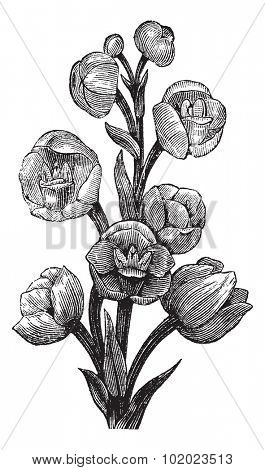 Peristeria elata, vintage engraved illustration. Trousset encyclopedia (1886 - 1891).