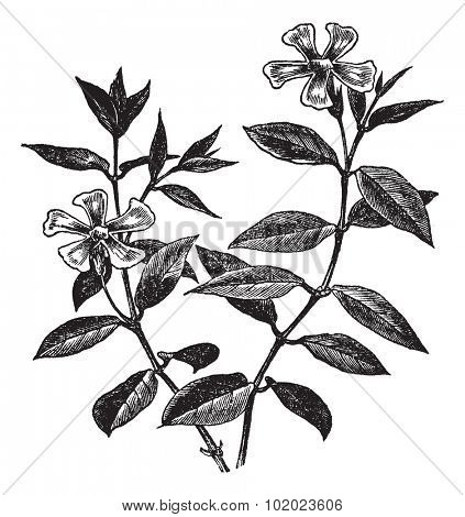 Periwinkle or Vinca minor, vintage engraved illustration. Trousset encyclopedia (1886 - 1891).