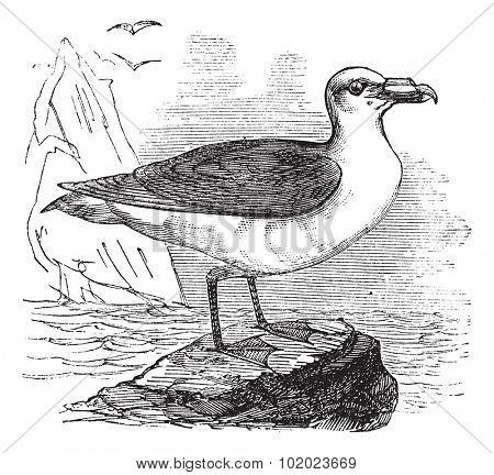 Grey Petrel or Brown Petrel or Pediunker or Grey Shearwater or Procellaria cinerea, vintage engraved illustration. Trousset encyclopedia (1886 - 1891).