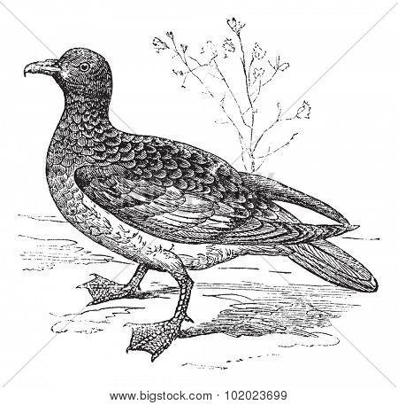 Cape Petrel or Cape Pigeon or Daption capense, vintage engraved illustration. Trousset encyclopedia (1886 - 1891).