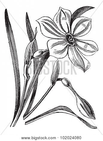 Poet's Daffodil or Narcissus poeticus, vintage engraved illustration. Trousset encyclopedia (1886 - 1891).