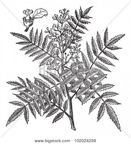 Schine soft, Schinus molle, Peruvian Pepper, American pepper, Peruvian peppertree, escobilla, false pepper, peppercorn tree, Californian pepper tree or pirul. Trousset encyclopedia (1886 - 1891).