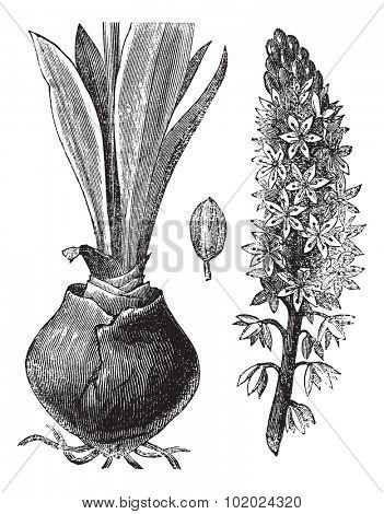 Sea squill (Urginea [scilla] maritima) or red squill or sea onion or ein sit or ada sogani or Drimia maritima, vintage engraved illustration.Trousset encyclopedia (1886 - 1891).