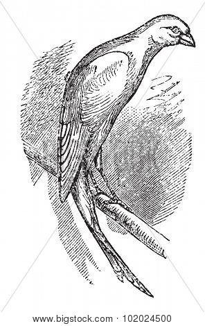 Scottish fancy canary or Scottish canary, vintage engraved illustration. Trousset encyclopedia (1886 - 1891).