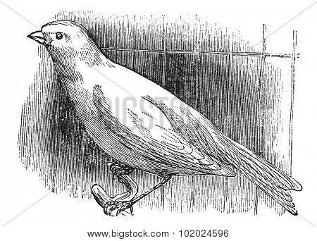 Ordinary canary, vintage engraved illustration. Trousset encyclopedia (1886 - 1891).
