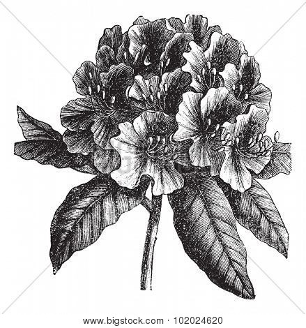 Catawba Rhododendron or Rhododendron catawbiense, vintage engraving. Old engraved illustration of Catawba Rhododendron hybrid isolated on a white background. Trousset encyclopedia (1886 - 1891).