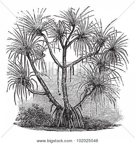 Pandanus candelabrum, vintage engraving. Old engraved illustration of Pandanus candelabrum tree. Trousset encyclopedia (1886 - 1891).