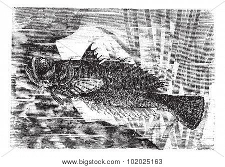 Stargazer or Uranoscopus sp., vintage engraved illustration. Trousset encyclopedia (1886 - 1891).