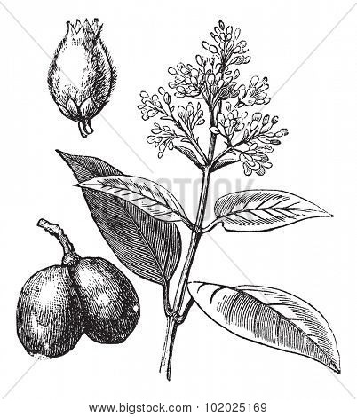 Indian Rubber Tree or Ficus elastica, vintage engraved illustration. Trousset encyclopedia (1886 - 1891).