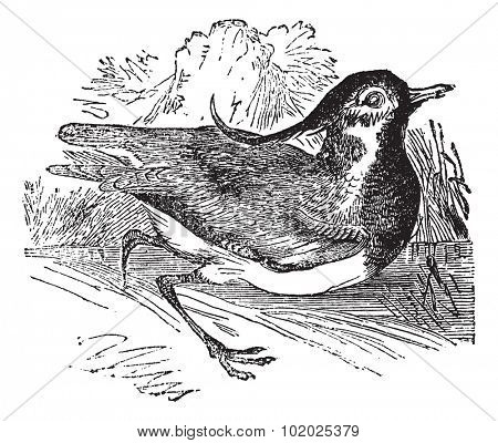 Northern Lapwing or Vanellus vanellus, vintage engraved illustration. Trousset encyclopedia (1886 - 1891).