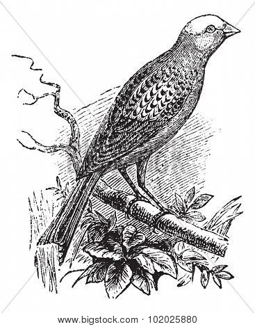 Canary Lizard, vintage engraved illustration. Lizard Canary perching on branch. Trousset encyclopedia (1886 - 1891).