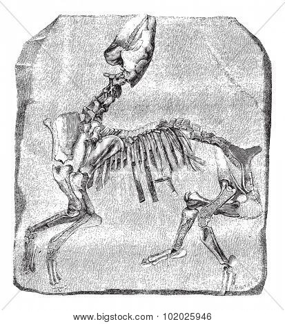 Skeleton of the great Paleotherium de Vitry, exhibited in galleries comparative anatomy at the Museum of Natural History. Drawing by M. Delahaye vintage engraved illustration. Magasin Pittoresque 1874