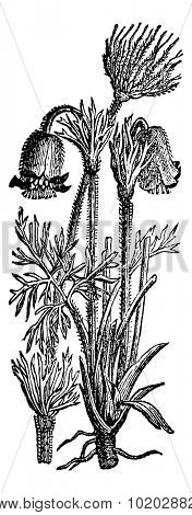 Anemone pulsatilla or Pulsatilla vulgaris or Pasque flower or common pasque flower or Dane's blood, vintage engraved illustration. Usual Medicine Dictionary by Dr Labarthe - 1885
