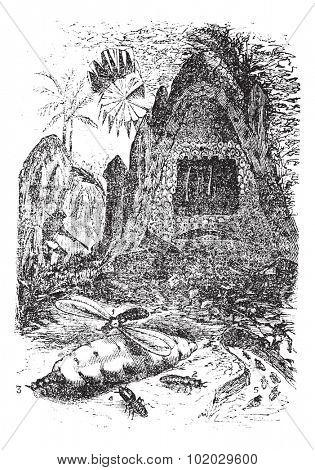 Warlike termite (bellicosus terms) and its nest. - 1. male, 2, fertilized female, 3, worker, 4, warrior 5, neutral, vintage illustration. Termites or White ants. Trousset encyclopedia 1886 - 1891