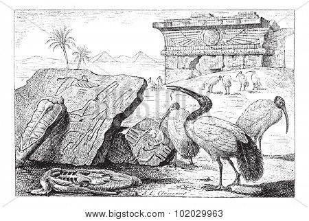 Old engraved illustration of groups of ibises in the meadow. Dictionary of words and things - Larive and Fleury, 1895
