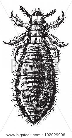 Fig 17. Louse Diptera, vintage engraved illustration. Dictionary of words and things - Larive and Fleury - 1895.